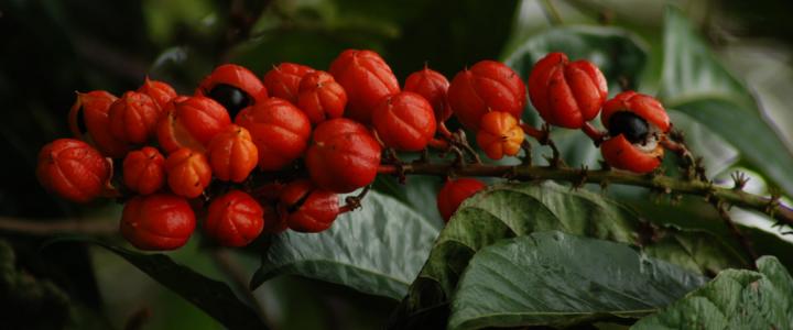 Guarana a jej priaznivé účinky